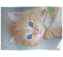 Orange Tabby Kitten Poster