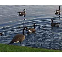 Geese Photographic Print