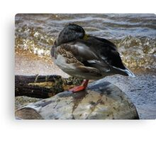 Sleepy Duck Canvas Print