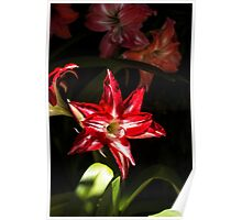 Red Star/Flower - Nature Photography Poster