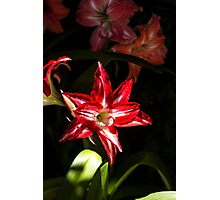 Red Star/Flower - Nature Photography Photographic Print