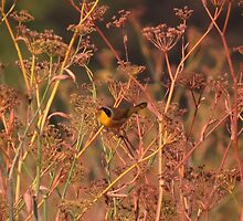 Common Yellowthroat eating fennel seeds by Krissa Klein