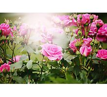 Beautiful pink roses in sun light Photographic Print