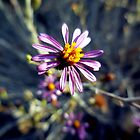 Floating Aster by Chris Gudger