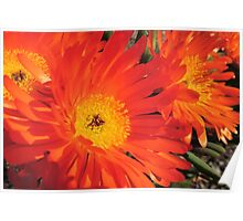 Spring Blooms of an Orange Ice Plant  Poster