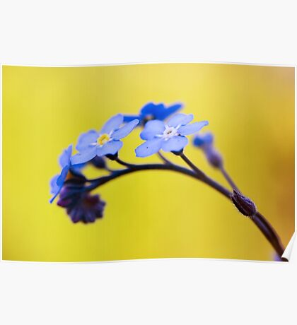 Forget me not flower on yellow background Poster