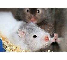 How much is that hamster in the window Photographic Print