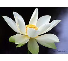 White Lotus Photographic Print