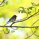 Bluebird Early Morning by Janice Carter