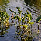 Lillies in Evening Glory by Lynda Lehmann