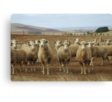 What are ewe's looking at? Canvas Print