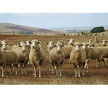 What are ewe's looking at? Photographic Print