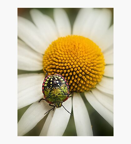 Colorful stink bug Photographic Print