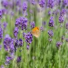 Butterfly on Lavender by Elaine Teague