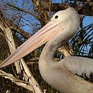 Pelican portrait by BigAndRed