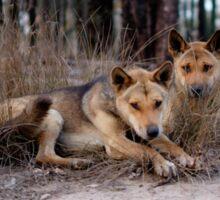 Watchful Dingoes Sticker