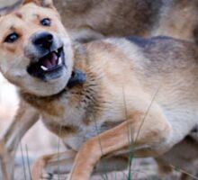 Playful Dingoes Sticker