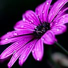 Purple Daisy by ImagesbyDi