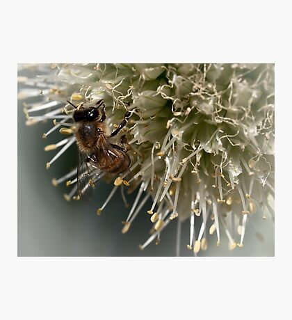 Bee on onion flower Photographic Print