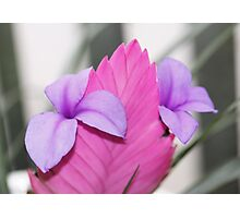 Tillandsia cyanea - Pink Quill Bromliad Photographic Print