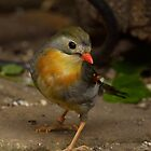 Red-billed leiothrix (Leiothrix lutea) by Peter Wiggerman