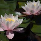 Pink Water Lilies by pcbermagui