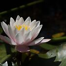 Pink and Yellow Water Lily by pcbermagui