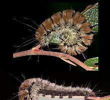 The Fingered Dagger Moth Caterpillar by DigitallyStill