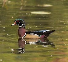 Male Wood Duck - Mud Lake by Josef Pittner