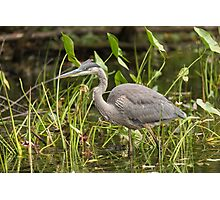Great Blue Heron - Mud Lake, Ottawa, Canada Photographic Print