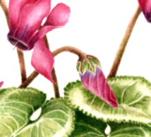 Cyclamen persicum - watercolour  Sticker