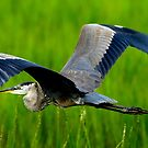 GREAT BLUE HERON INFLIGHT by imagetj