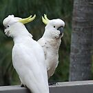 Sulphur-Crested Cockatoo by mbutwell