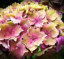 Hydrangeas by OlaG