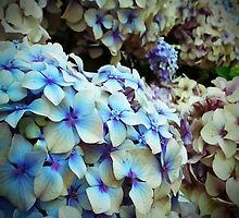 Hydrangeas bush by OlaG