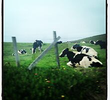 Cows by benprice