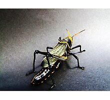 01 San Pedro Horse Lubber Grasshopper Photographic Print
