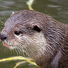 Otter by Ellesscee