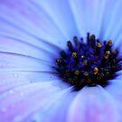 Daisy by ImagesbyDi