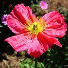 bright pink poppy by Jeannine de Wet