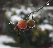 Snowy Berries by Hannah Saveall
