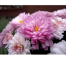 Lavender Mums Photographic Print