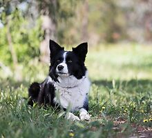 "Beautiful Border Collie.... Alley"""" by mitpjenkeating"