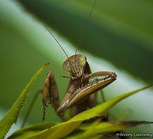 Praying Mantis 2 by BLaskowsky