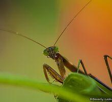 Praying Mantis 3 by BLaskowsky