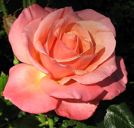 Sunkissed Orange Rose in Semi Profile by BlueMoonRose