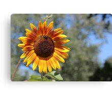 My Neighbor's Sunflower 1 Canvas Print
