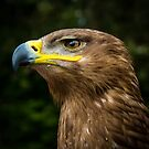 Steppe Eagle by Ellesscee