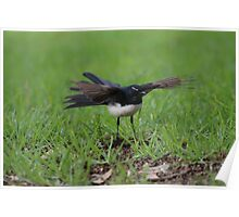 Wings Out Willie Wagtail Poster