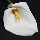 Arum Lily by Sharon Brown